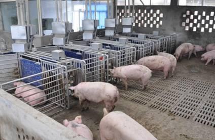 全自动猪场饲喂系统