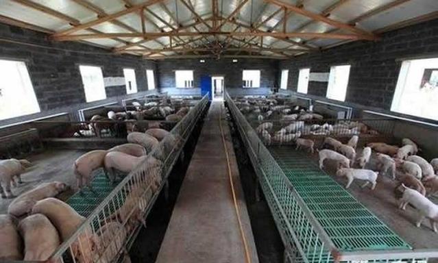 智能化养猪,未来养猪发展模式